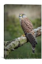 Portrait of a kestrel, Canvas Print