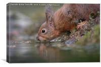 Thirsty red squirrel , Canvas Print