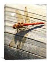 Close up of dragonfly, Canvas Print