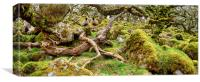 Ancient gnarled and stunted oak tree trunks growin, Canvas Print