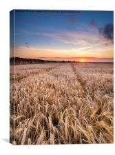 Barley Field at sunset in the Cornish Countryside, Canvas Print