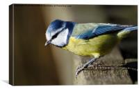 Blue Tit, Canvas Print