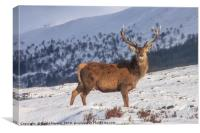 Stag in Winter, Canvas Print