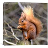 The Red Squirrel, Canvas Print