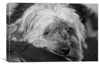 Fed up Ted the Yorkie, Canvas Print