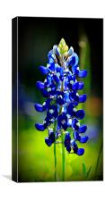Texas Bluebonnet, Canvas Print