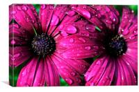 Drop-covered Osteospermum , Canvas Print
