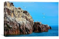 Northern Gannets on Bass Rock, Canvas Print