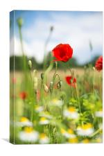 Summer meadow with red poppy, Canvas Print