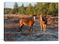 New Forest Ponies , Canvas Print