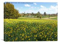 Spring Daffodils at Trentham Gardens Stoke on Tren, Canvas Print