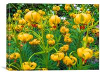 Newly flowering Tiger Lily Flowers in a North York, Canvas Print