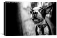 Black And White dog, Canvas Print