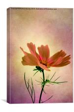 Cosmos - Flower of Love, Canvas Print