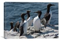 Guillemots, Canvas Print