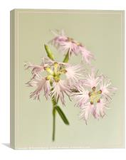 Frilly Dianthus, Canvas Print