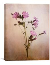 Red Campion, Canvas Print