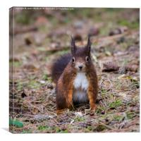 Red squirrel glances towards the camera, Canvas Print