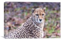 African Cheetah pauses from a feed, Canvas Print