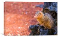 Common dwarf mongoose peers out of a log, Canvas Print