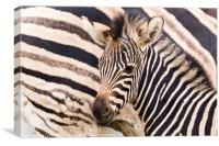 Mother & baby zebra, Canvas Print