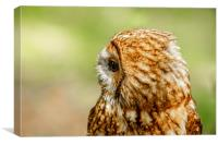 Tawny Owl looking right, Canvas Print