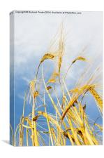 Winter Barley, Canvas Print