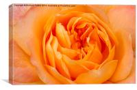 Beautiful Yellow Peace Rose , Canvas Print