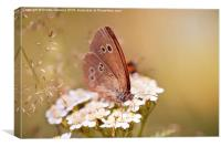 Aphantopus hyperantus or Ringlet brown butterfly , Canvas Print