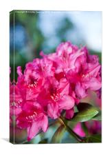 Rhododendron or Azalea plant bright pink flowers , Canvas Print