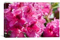 Rhododendron called Azalea bright pink flowers , Canvas Print