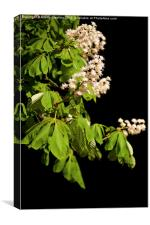 blooming Aesculus tree on black, Canvas Print