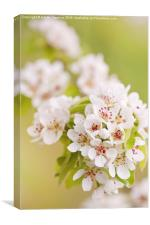 Pear white flowering tree detail, Canvas Print