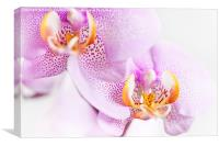Pink blotchy Orchid flowers, Canvas Print