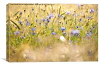 Cornflowers after the rain, Canvas Print