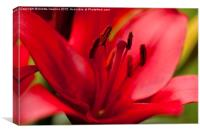 Red Lily stamens closeup, Canvas Print