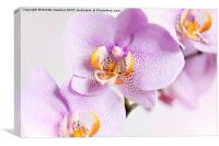 Pink spotted Orchid blossoms, Canvas Print
