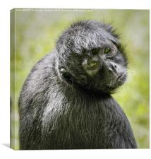 Colombian Spider Monkey, Canvas Print