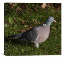 Wood Pigeon, Canvas Print