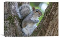 Gray Squirrel Resting in a Tree, Canvas Print