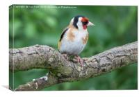Male Goldfinch, Canvas Print