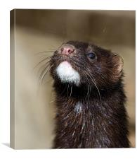 American Mink in England, Canvas Print