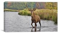 Proud Stag, Canvas Print