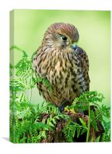 Kestrel Portrait, Canvas Print