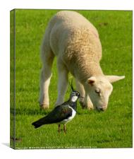 """""""THE LAPWING AND THE LAMB"""", Canvas Print"""