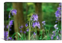 """""""Evening light in the Bluebell wood"""", Canvas Print"""