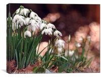 """Snowdrops in the pink"", Canvas Print"