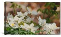 """"""" Wood Anemones in a breezy Durham wood"""", Canvas Print"""