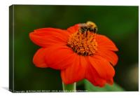 """Bee on Orange flower"", Canvas Print"