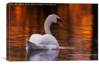 Swan in the Sunset, Canvas Print